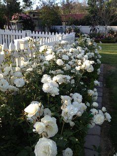 gardens fence Hedge of White Iceberg Rose Hedge of White Iceberg Rose Cottage Rose, Garden Cottage, Beautiful Gardens, Beautiful Flowers, Rose Hedge, Landscape Design, Garden Design, House Landscape, Garden Wallpaper