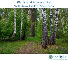This is a guide about plants and flowers that will grow under pine trees. Impatiens, wallerana, trillium, lungwort, hellebores, Virginia bluebells, rhododendron, azalea, hydrangea, cardinal flower, hosta, Jacob's ladder, Canadian ginger, saxifraga, heuchera, hepatica, ferns, barren strawberry, big-root geranium, lily-of-the-valley, bishop's hat, dead nettle and sweet woodruff.
