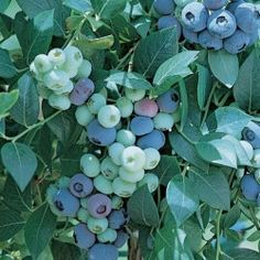 Blueberries can be grown hydroponically
