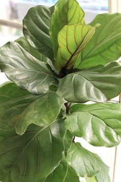 My Fiddle Leaf Fig DOUBLED its leaf size & height in one growth season! Read how & when to fertilize a Fiddle Leaf Fig & what type is best for these plants.