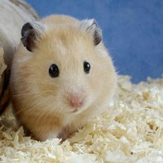 DIABETES IN HAMSTERS - Diabetes is more common in dwarf hamsters than Syrians, especially in Campbell's, 'Russian' hybrids and Chinese. Feeding a diet low in refined sugar may help prevent hamsters developing diabetes.. Some hamster food mixes and treats have added sugars so check the labels for ingredients such as: sugar, molasses, syrup and honey. Some people avoid all sugary foods and treats for all Chinese hamsters, including fruit.  Stress can precipitate diabetes in susceptible…