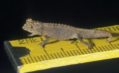 ˚This little lizard: The 'Brookesia micra' chameleon, with a 16 millimeter body
