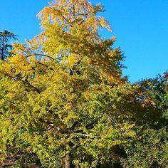 駿府城公園のイチョウの木。下の方はまだ色付いてないけど、それも綺麗ですね🍂 #東亜和裁 #静岡 #東亜和裁紅葉まつり2016  #駿府城公園 #さんぽ
