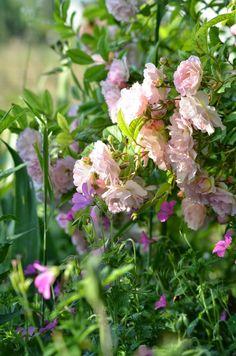 Mon Jardin Mes Merveilles: Roses entre ombre et lumière (1/3)