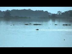 Elephant swimming in KNP during flood.MOV support the flood victims http://sewabharathi.com
