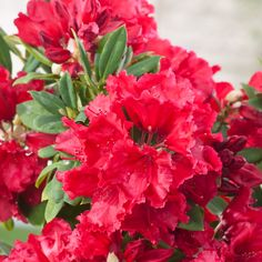 Rhododendron Red Jack - Yakushimanum Rhododendron - Dobbies Garden Centres