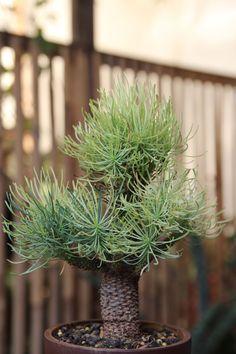 #Succulent #Euphorbia Filiflora