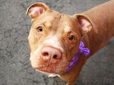 SAFE 5-16-2015 --- SUPER URGENT DIAMOND – A1034358 SPAYED FEMALE, BROWN / WHITE, AM PIT BULL TER MIX, 8 yrs OWNER SUR – EVALUATE, HOLD FOR ID Reason OWNER SICK Intake condition EXAM REQ Intake Date 04/26/2015