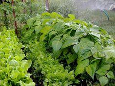 Współrzędna uprawa warzyw: jakie warzywa sadzić obok siebie Vegetable Garden, Garden Plants, Lettuce, Celery, Diys, Herbs, Vegetables, Gardening, Lawn And Garden