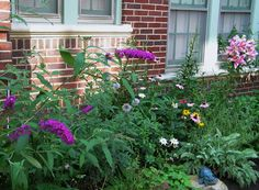 adjacent to the area I just transplanted and 'remediated' - Butterfly bush, globe thistle, Black Eyed Susans, Cone flower, lilies, licorice, yarrow, baptista 6 August 2014