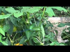 ▶ How to Grow Bell & Chilli Peppers - YouTube
