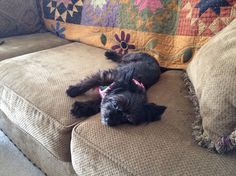 Mollie enjoying a mid-day nap, well at least until I woke her up. She is the cutest Yorkipoo ever!