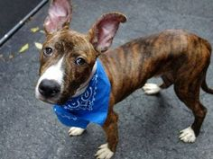 TO BE DESTROYED 09/18/14 Manhattan Center -P **PUPPY ALERT**  My name is CHESTER. My Animal ID # is A1013712. I am a male br brindle pit bull mix. The shelter thinks I am about 8 MONTHS old.  I came in the shelter as a STRAY on 09/11/2014 from NY 10459, owner surrender reason stated was STRAY.