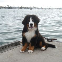 Dugan is a Bernese Mountain Dog who absolutely loves the water whether it be the ocean or a lake. In this photo, he's hanging out in Newport Beach, CA off Lido Island's Club Docks.