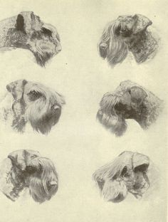 Vintage 1935 Black And White Dog Print Kerry Blue Terrier Dog Head Study Irish Blue Terrier Monochrome Book Illustration Book Plate
