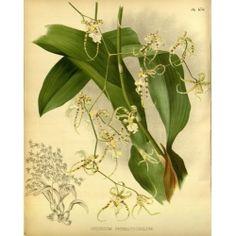 Oncidium Phymatochilum Orchid