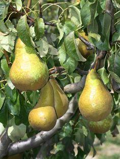 Winter Pear 'association Dechant Pear' - Pyrus communis 'Association Dechant Pear' - Nursery Horstmann