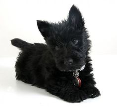 Mi pequeña Mara de tan solo 2 meses de edad. Scottish Terrier, dog, baby. Im in love.