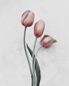 Vee Speers' photography is featured at Jackson Fine Art - a gallery that supports fine art photography including photos from Vee Speers. Macro Photography, Fine Art Photography, Watercolor Flowers, Watercolor Art, Vee Speers, Tulip Painting, Flower Phone Wallpaper, Picture Logo, Print Pictures