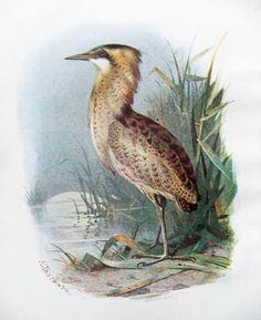 Bittern - Antique Bird Print #PeonyandThistlePaper, £6.50