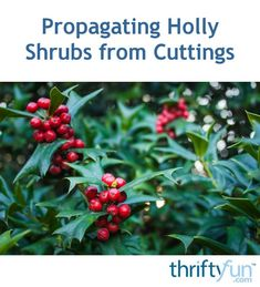 Propagating Holly Shrubs from Cuttings Garden Plants, House Plants, Holly Shrub, Holly Plant, Holly Bush, Plant Propagation, Peat Moss, Hardy Perennials, Plant Nursery