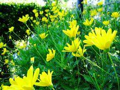 Yellow daisies = smiles