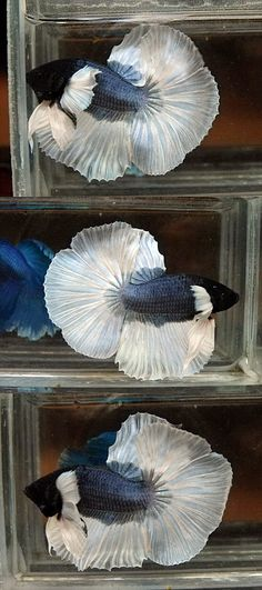 Steel Blue Butterfly Halfmoons Big Ear __ I want a Big Ear Betta soooo badly. Pretty Fish, Beautiful Fish, Colorful Fish, Tropical Fish, Beautiful Creatures, Animals Beautiful, Chien Golden Retriever, Betta Fish Types, Carpe Koi