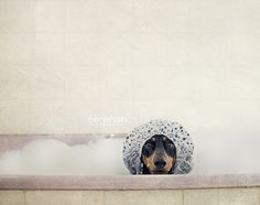 Rub a dub dub, Dachshund in a tub. Funny Dog Photos, Funny Dogs, Funny Animals, Cute Animals, Wild Animals, Baby Dogs, Dogs And Puppies, I Love Dogs, Cute Dogs