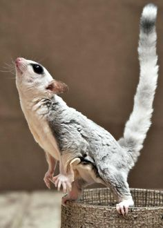 A Sugar Glider is a completely adorable and small animal they've tails that is so long as the frame and as thick because the human beings normal size thumb. Sugar Glider Baby, Sugar Gliders, Terrarium Reptile, Les Reptiles, Pocket Pet, Pet Dragon, Flying Squirrel, Pet Monkey, Pets For Sale