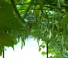 green beans on a trellis