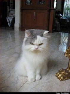 Chat avec un air menaçant - Cat with a scowl