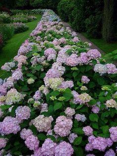 Tuin met lange lijn hortensia's #tuin #garden #hortensia