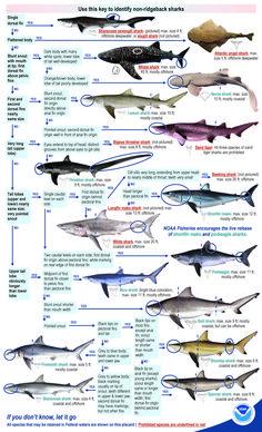 Shark identification for recreational shark fishing. Shark Information, Different Types Of Sharks, Species Of Sharks, Animal Species, Turtle Facts, Shark Painting, Shark Pictures, Nurse Shark, Shark Bait