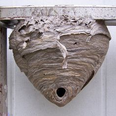 Bald-faced Hornet Nest  | Call A1 Bee Specialists in Bloomfield Hills, MI today at (248) 467-4849 to schedule an appointment if you've got a stinging insect problem around your house or place of business! You can also visit www.a1beespecialists.com!
