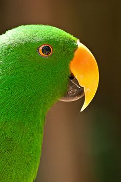 Vibrant green Male Eclectus Parrot (Eclectus females are red, black and maroon)
