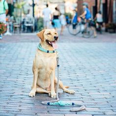 This handsome guy chose his rope leash in goddess aqua & gray cotton rope.