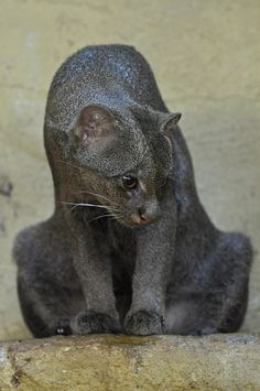 Jaguarundis, although feline, more closely resemble weasels.  They are not native to the United States but it is believed that there is a feral population in Florida.