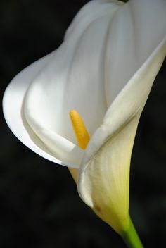 Calla Lily~a true sculptural beauty; it beguiles me every year. Soon as it appears, I am remindered of the great photographer Mapplethorpe whose beautiful photos of this flower are iconic. Photo by Flavia Brilli Cala Lilies, White Lilies, Calla Lily, Flower Paintings, Great Photographers, Diy Canvas, Flower Art, Honey, Wall Art