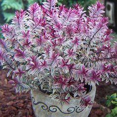 Garteneibisch Purpureus Variegatus 60-80cm Hibiscus syriacus