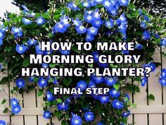 How To Make Morning Glory Hanging Planters? Morning Glory Plant, Morning Glory Flowers, Morning Glories, Garden Yard Ideas, Lawn And Garden, Garden Projects, Garden Fun, Summer Garden, Diy Hanging Planter