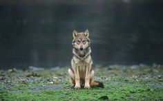 A Gray Wolf In The Great Bear Rainforest In British Columbia.