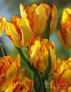 Aquilla Bunch Flowering Tulips from hollandbulbfarms.com