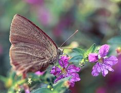 Macro field photography of a small brown butterfly on a tiny florets in Hong Kong.