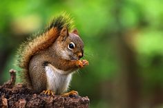 pine squirrel by Lorraine A Booker on 500px red squirrel on an old stump