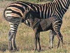 melanistic zebra foal