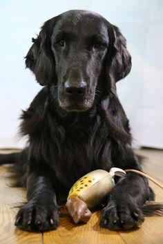 Flatcoated retrievers kennel Bel Ami Belge www.belamibelge.be