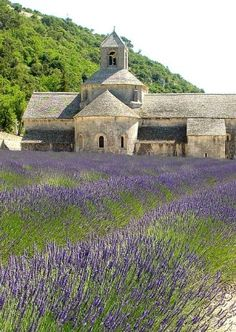 Lavender Fields, Tuscany, Italy