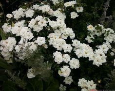 Portada de White Rose Fotos