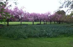 Pink Cherry Blossom en masse @Deborah Smith Park