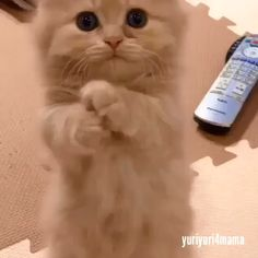 Cute Kitten In The Living Room. - So niedlich - Katzen Cute Little Animals, Cute Funny Animals, Cute Dogs, Funny Cats, Cute Kittens, Chat Kawaii, Cute Animal Videos, Baby Cats, Baby Kitty